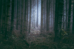 Scary blue fog in pine trees forest Stock Photos