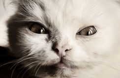 Scary cat. Mean little white Persian kitten Stock Photos