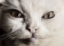 Scary cat. Mean little white Persian kitten Stock Images