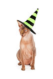 Scary Cat Wearing Witch Hat Stock Image