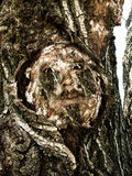 Scary face in tree. An unusual and perhaps scary view of a human face with eyes appearing in a cut made on the side of an old tree royalty free stock image