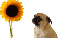 Scary Flower. Cute Pug looking at a huge Sunflower with a concerned look on his face Royalty Free Stock Photography