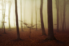 Scary fogy forest Royalty Free Stock Photo