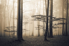 Scary fogy forest. Sun beams in fogy and scary forest Royalty Free Stock Images
