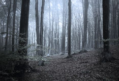 Scary fogy forest. Sun beams in fogy and scary forest stock photos