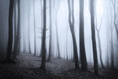 Scary fogy forest. Sun beams in fogy and scary forest Stock Images