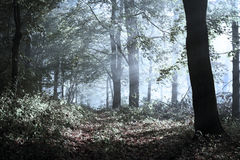 Scary fogy forest. Sun beams in fogy and scary forest Stock Image