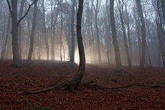 Scary forest. Sun beams in fogy and scary forest Stock Photography