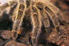 Scary giant tarantula Stock Photography