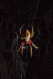 Scary Golden Orb-Weaver spider in the middle of spider web on bl Stock Photography