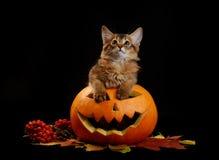 Scary halloween pumpkin and somali kitten Stock Photo