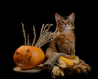 Scary halloween pumpkin and somali kitten Stock Photography