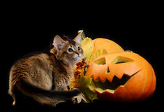 Scary halloween pumpkin and somali kitten Royalty Free Stock Photography