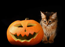 Scary halloween pumpkin and somali kitten Royalty Free Stock Images