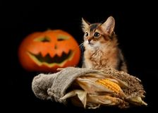 Scary halloween pumpkin and somali kitten Royalty Free Stock Photos