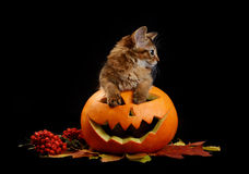 Scary halloween pumpkin and somali kitten Stock Photos