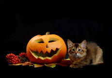 Scary halloween pumpkin and somali kitten Royalty Free Stock Photo