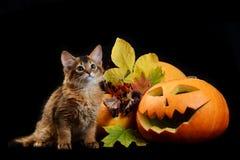 Scary halloween pumpkin and somali kitten Royalty Free Stock Photography