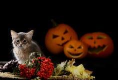 Scary halloween pumpkin and somali kitten Stock Images
