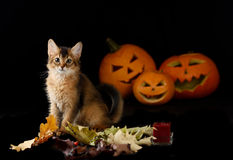 Scary halloween pumpkin and somali kitten Stock Images