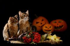 Scary halloween pumpkin and two somali kittens. Scary halloween pumpkin jack-o-lantern and two somali kittens on black background royalty free stock photo