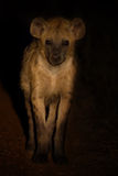 Scary hyena approach out of darkness to scavenge food Royalty Free Stock Photos