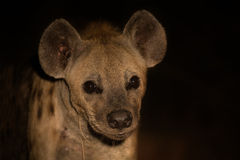Scary hyena approach out of darkness to scavenge food Stock Photo