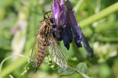Scary Insect On A Vetch Stock Photography