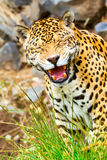 Scary Jaguar Roaring Stock Photos