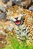 Scary Jaguar Roaring. Funny Pose Of An Wild Big Jaguar Male Shoot In The Wild Ecuadorian Amazonia Stock Photos