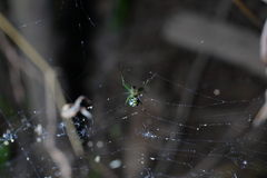 Scary little green spider. A scary orchard spider at the edge of the its web in the middle of the dark forest Stock Photos