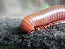 A scary millipede on the wood Royalty Free Stock Photo