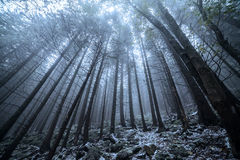 Scary and misty pine forest in the autumn time. Royalty Free Stock Photo
