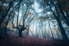 Scary mysterious forest in fog in autumn. Magic trees. Nature Royalty Free Stock Images