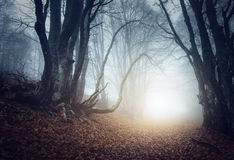 Scary mysterious forest in fog in autumn. Magic trees royalty free stock photos