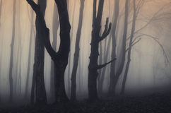 Scary old trees in haunted forest with fog at sunset Stock Photo