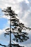 Scary pine Royalty Free Stock Photos