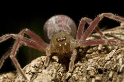 Scary Purple spider. Purple spider on piece of dead wood Stock Photo