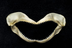 Scary Shark Teeth. Preserved killer shark tooth jawbone decoration background royalty free stock photos
