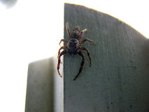 Scary Spider 2. A scary spider reeady to pounce Stock Image