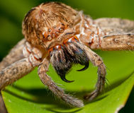 Scary Spider. Found on a leaf in the Brisbane Botanical Gardens Royalty Free Stock Photography
