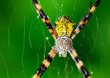 Scary Spider Royalty Free Stock Photo