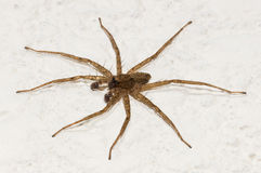 Scary Spider Stock Image