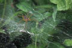 Scary spider lurking in its web Stock Image