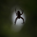 Scary spider Royalty Free Stock Image