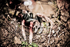Scary spider sitting in a hole Royalty Free Stock Photos