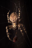 Scary spider on the web Stock Photography