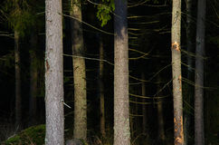 Scary spruce forest Royalty Free Stock Photography