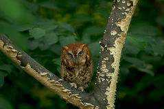 Scary stare. Screech-Owl royalty free stock photography