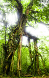 Scary tree. Photo of a scary tree in a forest, Bali royalty free stock image